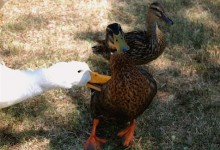 goose-attacks!